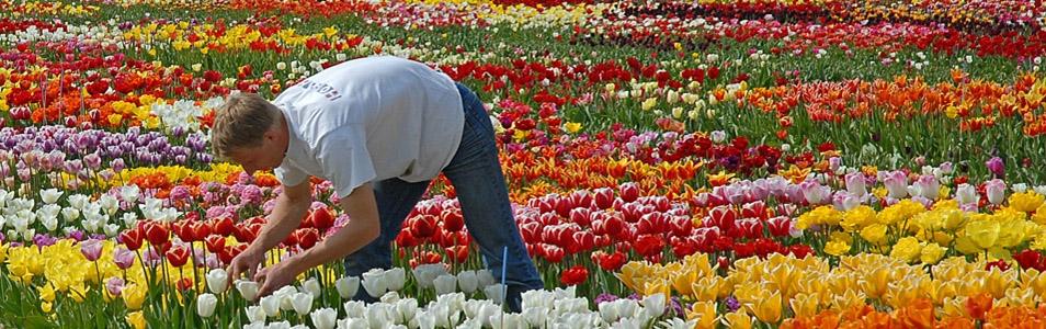 Tulpen-iBeacons