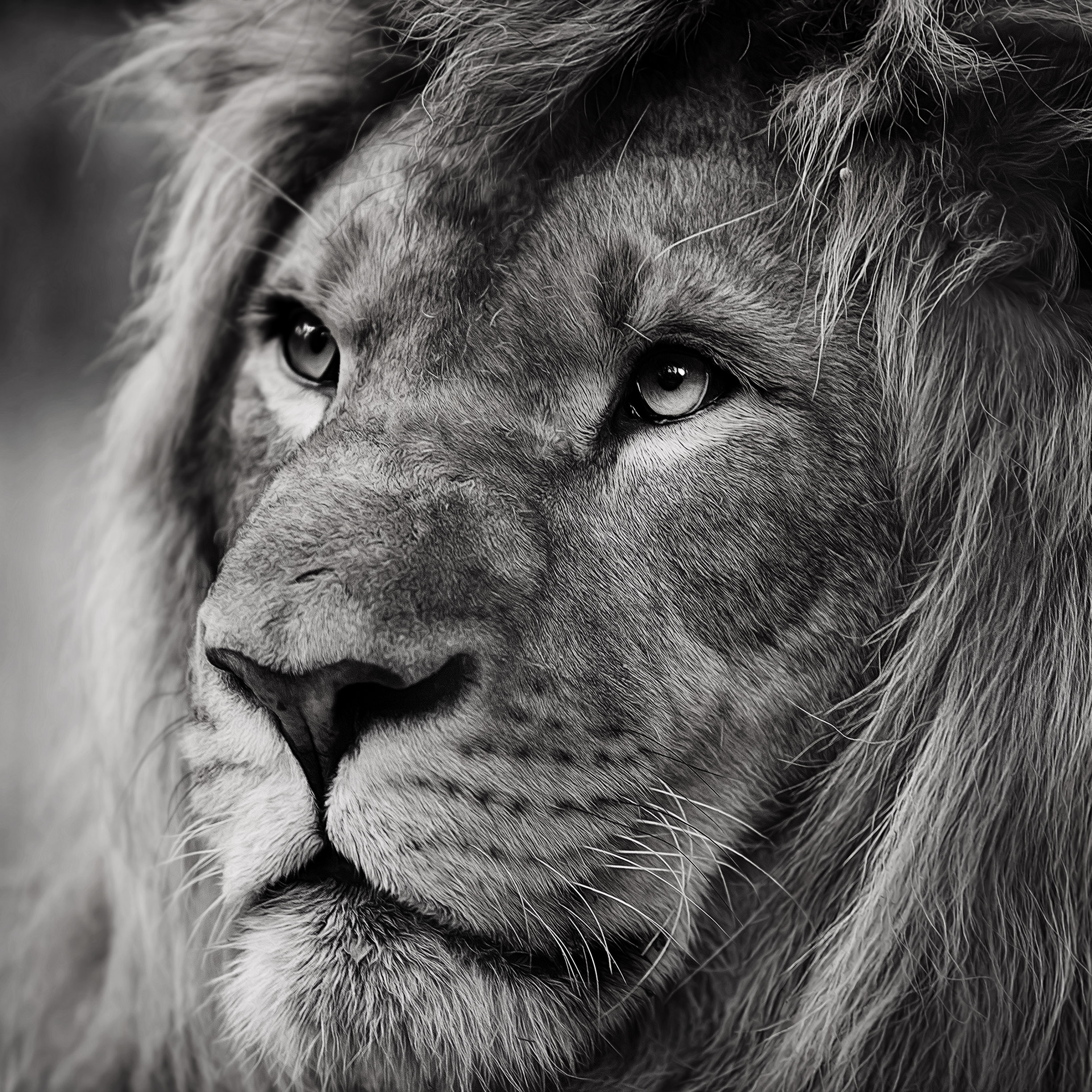 Lion wallpapers for iphone and ipad for Sfondi leone