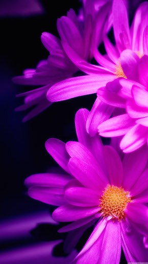 Pink Daisy Wallpaper iPhone 6 Plus preview