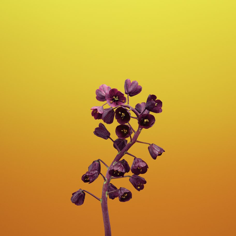 Tapeta iOS 11 (kwiat, żółta)