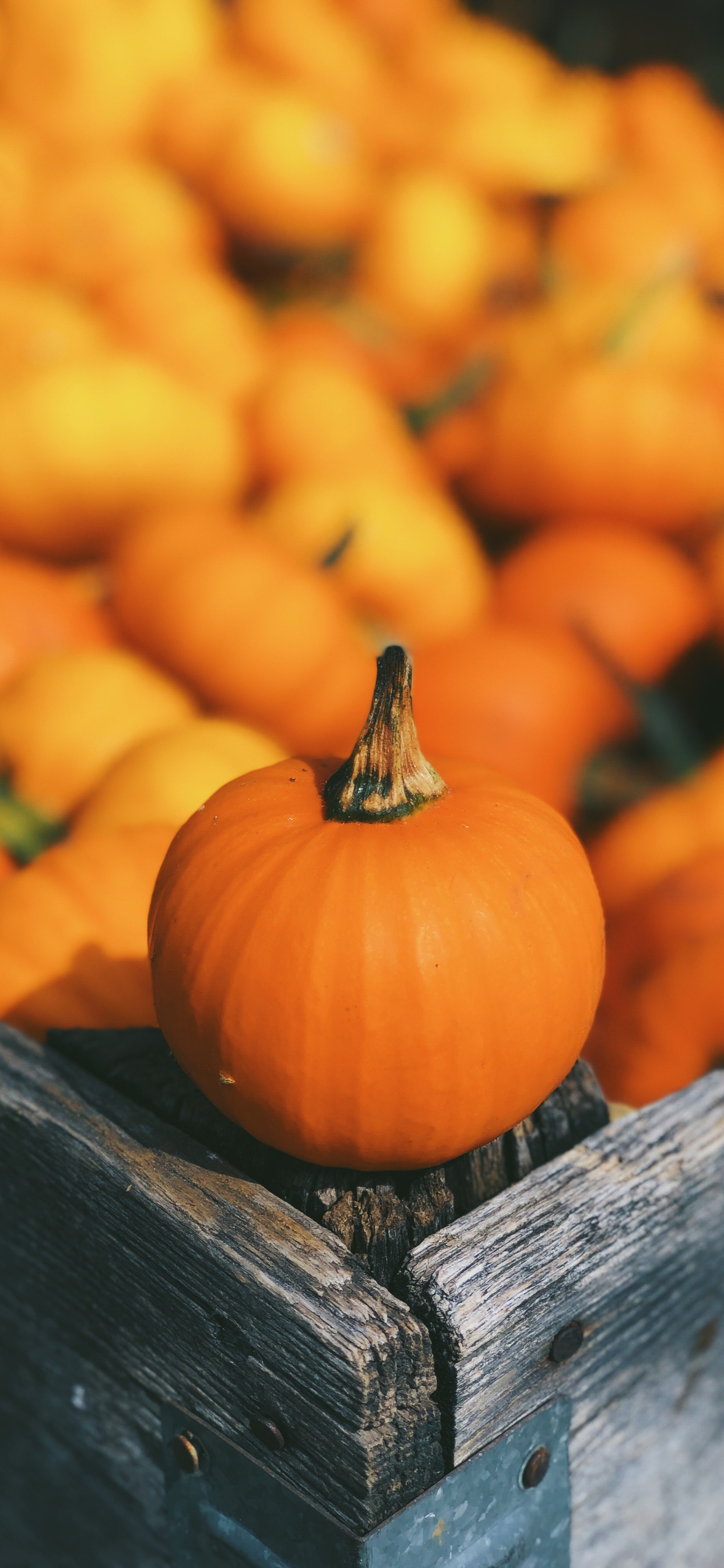 One pumpkin standing out from others