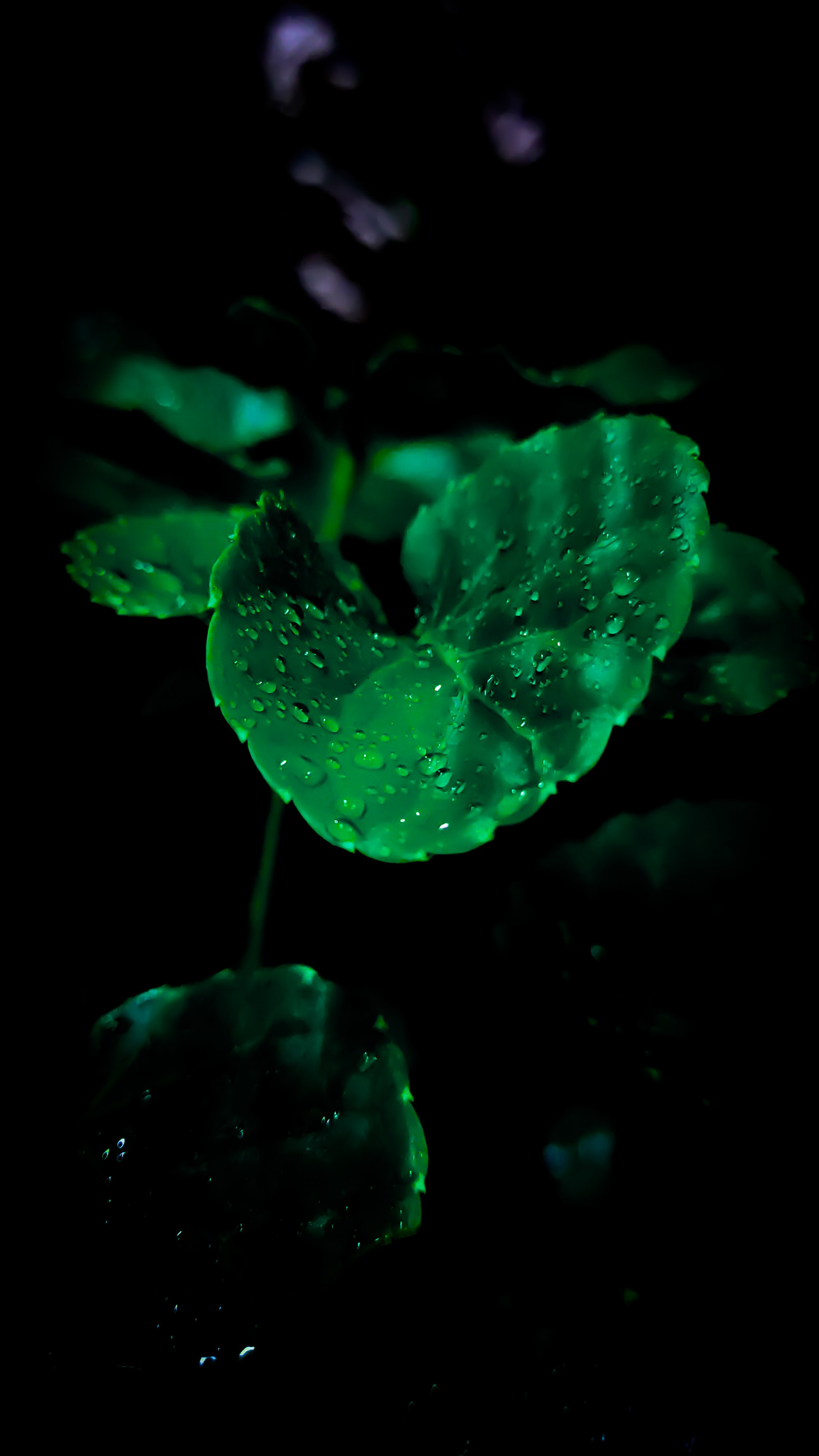 OLED wallpaper idownloadblog green water leaf plant