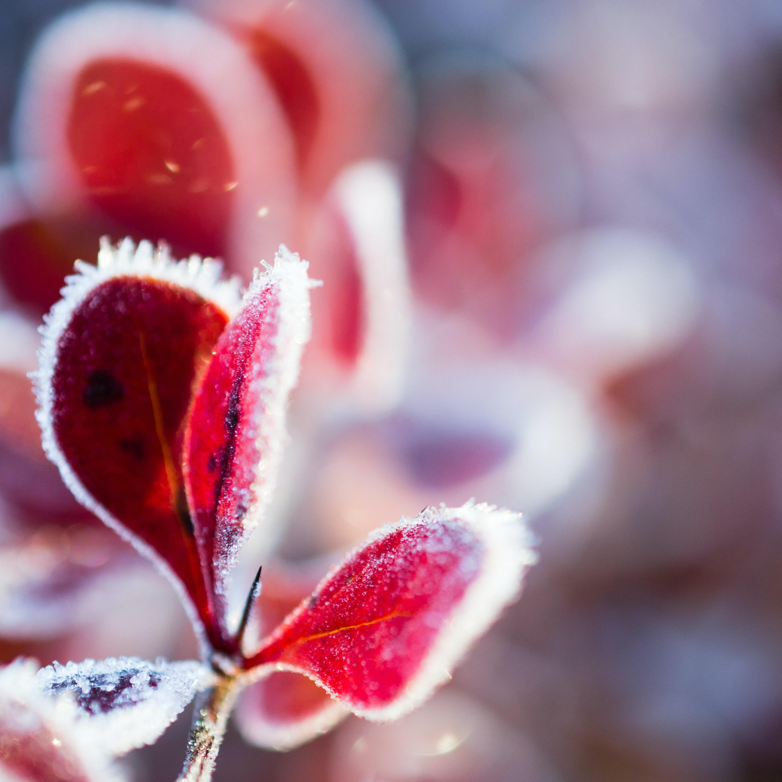 snow wallpaper frosted leaves idownloadblog unsplash austris augusts iPad
